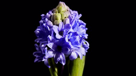 sümbül : Timelapse of pink hyacinth flower blooming on black background Stok Video