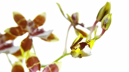 blooms : Orchid Flower Blooming Close Up. Timelapse. Blue background