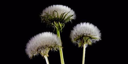 opening : Opening dandelion on blue background. Time Lapse Stock Footage