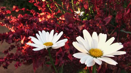 stokrotki : Camomile flower and red amaranth plant on background Wideo