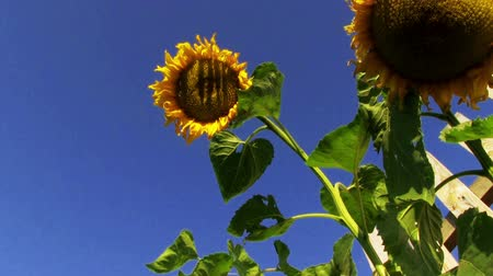 mavi gök : Sunflower on blue sky background