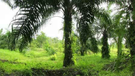 plantio : Oil Palm Plantations