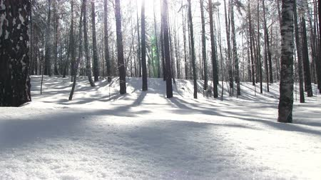 deep snow : Winter birch forest with deep snow and sun backlighting