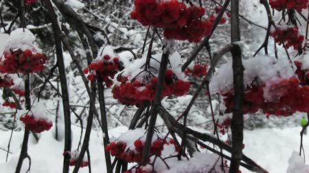 rowanberry : snowy bunches of red rowan