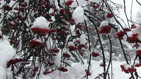 üvez ağacı : snowy bunches of red rowan