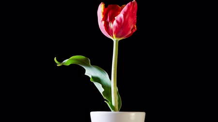 tulipany : Timelapse of red tulip flower blooming on black background