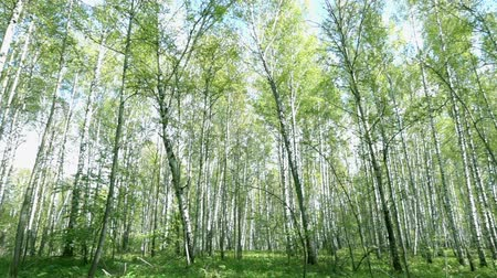 береза : Panorama of bright spring birch forest