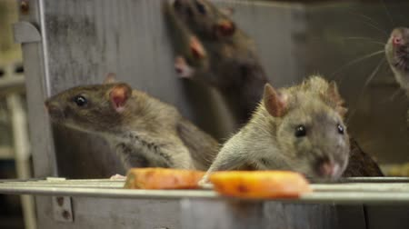 delikleri : The curious gray rats peeking out of the dark cage