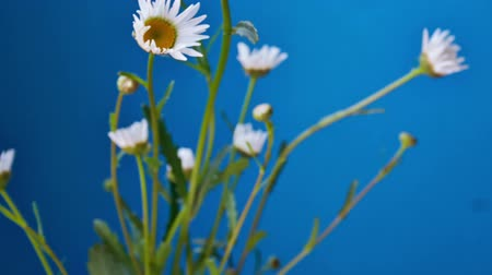 camomila : Bouquet of white daisies on a blue background