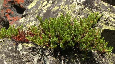 arctic tundra : Plant of black crowberry (Empetrum nigrum) growing on the stones