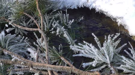 sedir : branch of cedar covered with hoarfrost lies on a freezing stream Stok Video