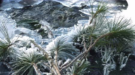 snow covered spruce : branch of cedar covered with hoarfrost lies on a freezing stream Stock Footage