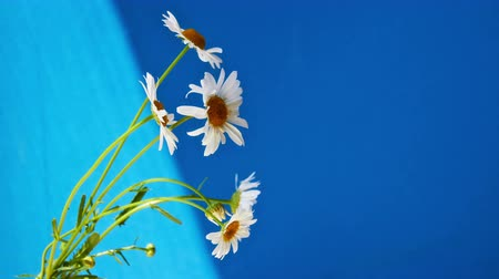 camomila : Bouquet of white daisies on a blue background. 4K UHD