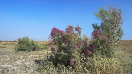 saxaul : Landscape in the steppes of Kazakhstan. Saxaul tree flowering