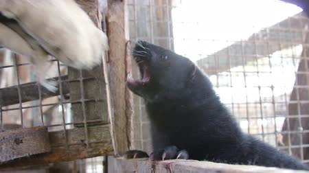 grating : Fur farm. Black aggression mink attacks the mans hand. Stock Footage