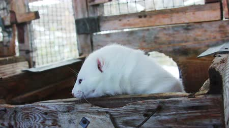 greenpeace : White curious mink peeking out of the cage Stock Footage