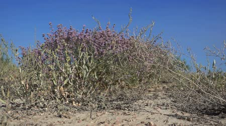 sahne : Landscape in the steppes of Kazakhstan. Saxaul tree flowering