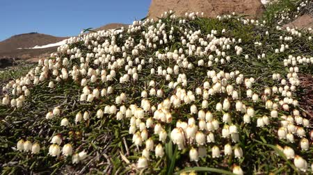 arctic tundra : Flower Arctic bell-heather - Cassiope tetragona in tundra. Kuril Islands, Paramushir, Ebeko mountain.