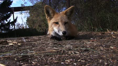 sonolento : Domesticated fox. Young red fox sleeping outdoor. Closeup video Stock Footage