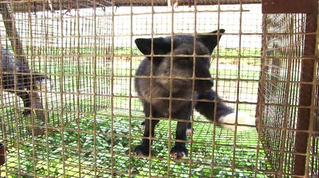 captive : Fur farm. Black fox in a cage looking outside. Stock Footage