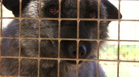 besta : Fur farm. Black Aggressive Fox in a Cage
