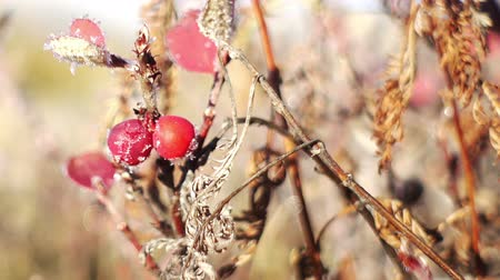 rosehip : Morning frost melts on rosehip berries in the sun