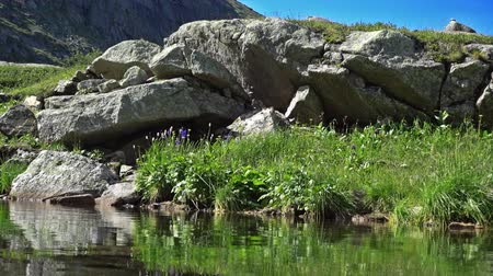 beautiful flowers : Aquilegia plant on the stone on the high-mountain lake