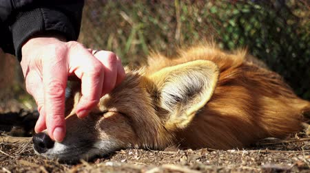 привязь : A woman strokes the head of a domestic fox