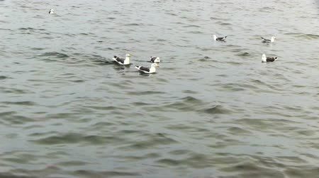 aves : group of seagulls on the water