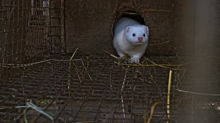 хищник : White curious mink peeking out of the cage Стоковые видеозаписи
