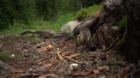 nozes : Chipmunk in their natural habitat Stock Footage