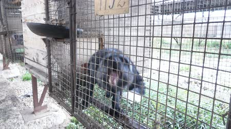 klatka : Fur farm. Black foxes in cages looking outside.