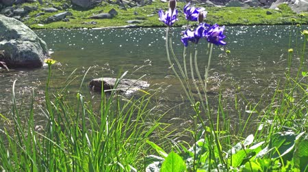 badan : Mountain landscape. Blue aquilegia flowers reflected in the water surface. Siberian Nature