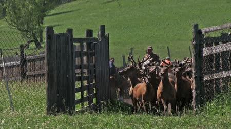 přežvýkavec : Deer farm. A herd of marals in the pen.