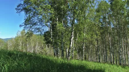 colore : Summer landscape with big birches on foreground, green fields and hills covered by wild forest Stock Footage
