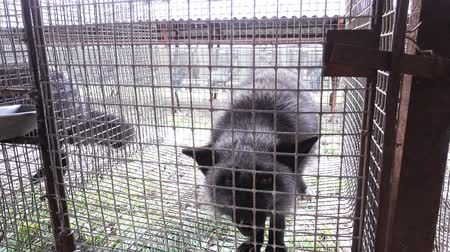 cruelty : An animal fur farm, a frightened aggressive fox in a cage.
