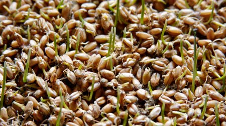 de aumento : Timelapse of growing wheat plants Stock Footage