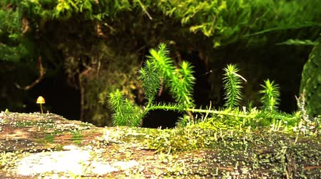 muchomor : Macro shoots of moss growing on a fallen tree in the Siberian forest (taiga) Wideo