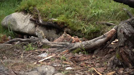 chipmunk : Chipmunk in their natural habitat Stock Footage
