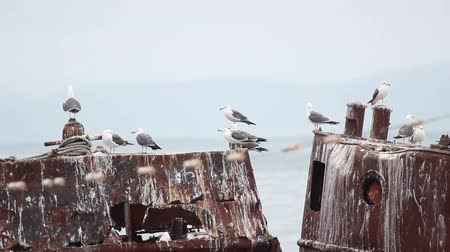 aves : Group of seagulls resting on old rust metal boats