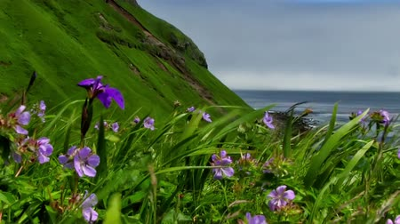герань : Spring green meadow with geranium and iris flowers on the pacific coast Стоковые видеозаписи