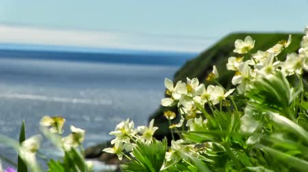 florescência : Spring green meadow with white flowers Globeflowers on the pacific coast