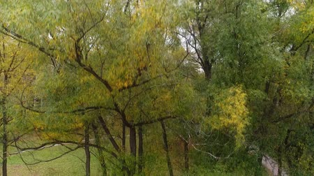 folga : Autumn tree in the park. Drone takes off along the branches of willow with yellow leaves Stock Footage