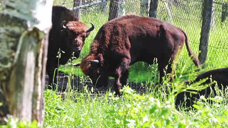 prairie : Wild european bison in the forest