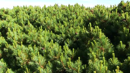 sedir : Branches of Siberian Pine (local named Cedar)  with green needles and ripe cones