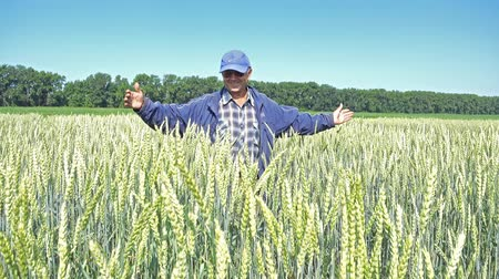 breeder : NOVOSIBIRSK, RUSSIA – JUNE 30, 2017: Breeder (agronomist) is on a wheat field touching of unripe green wheat ears.