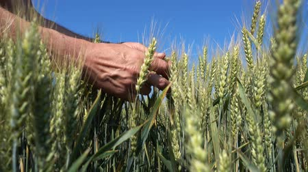 éretlen : Man hand touching of unripe green wheat ears in large wheat field.