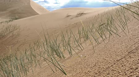 natural beauty : Grass Psammochloa villosa in mongolian sand desert natural environment. Large barkhan in Mongolia sandy dune desert Mongol Els. Govi-Altay, Mongolia. Stock Footage