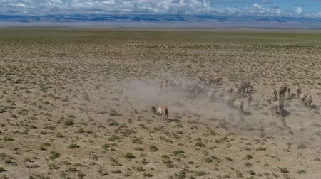 moğolistan : Group of camels being herded over sand desert in the Mongolia. Aerial footage. UHD