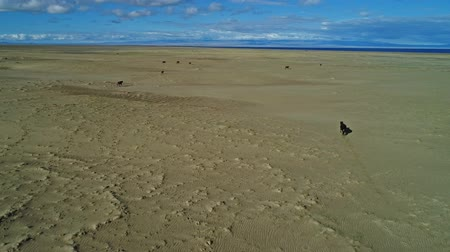 ouvido : Calves run across a sandy desert to a large lake. Mongolia,